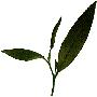 Thés verts naturels