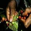Finca Las Acacias du Honduras